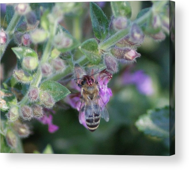 Bee Acrylic Print featuring the photograph Honey Bee by Liz Vernand