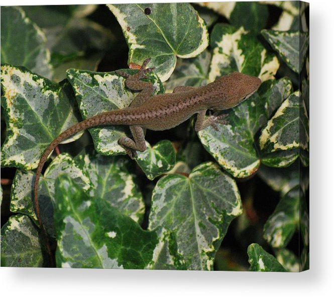 Anole Acrylic Print featuring the photograph Ivy Liz by Trudi Southerland