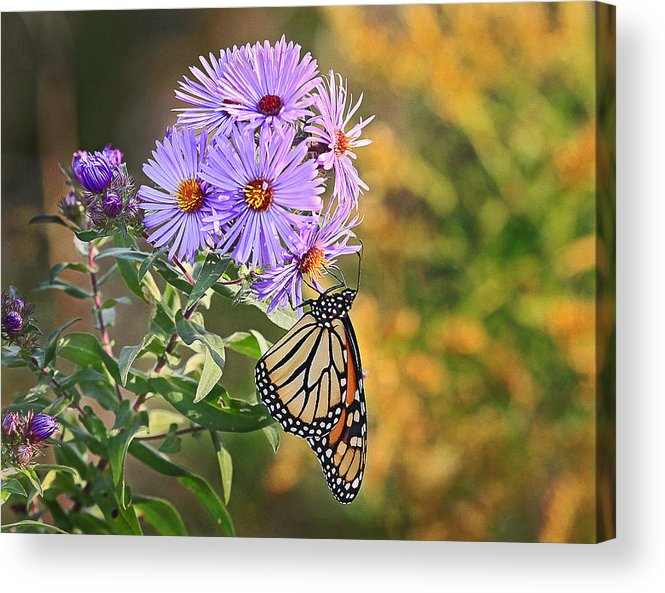 Monarch Butterflys. Flowers.. Floral. Paradoxa. Comcos. Water. Garden. Mixed Media. Mixed Media Butterfly. Mixed Mediabutterfly Photography. Butterfly Greeting Cards. Fine Ar Greeting Cards. Monarch Butterfly Greeting Cards. Acrylic Print featuring the photograph Monarch Feeding by James Steele
