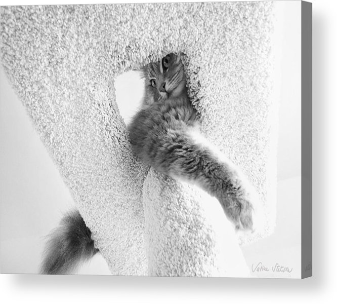 Cat Acrylic Print featuring the photograph On Top by Sabine Stetson