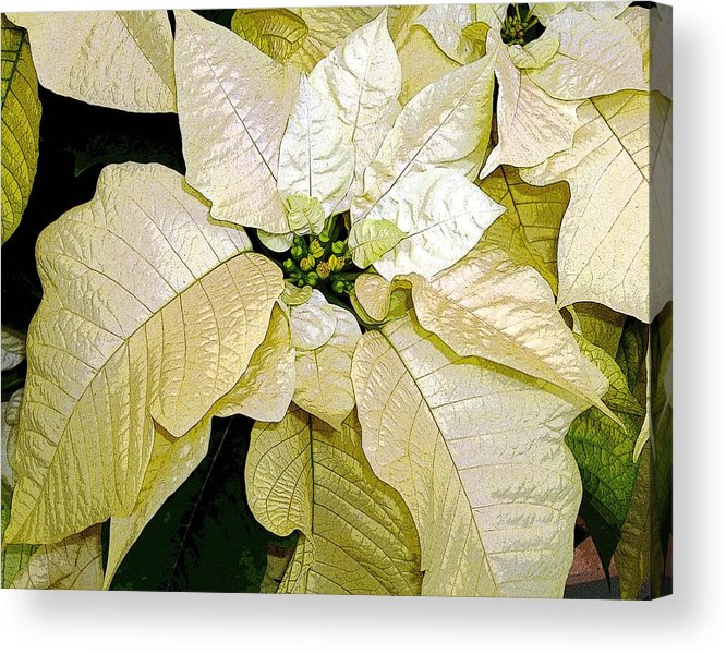 Poinsettias Acrylic Print featuring the photograph Poinsettias In White by Mindy Newman