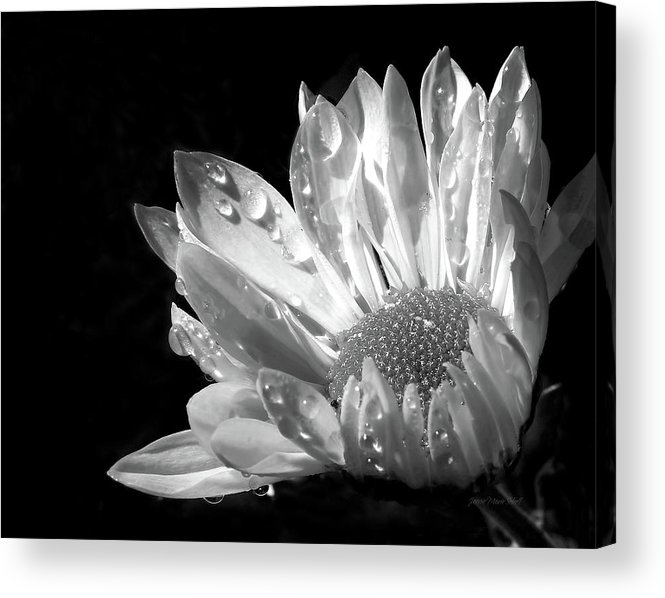 Daisy Acrylic Print featuring the photograph Raindrops On Daisy Black And White by Jennie Marie Schell