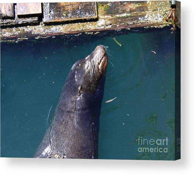 Sea Lion Acrylic Print featuring the photograph Sea Lion Pillow by Erica Hanel