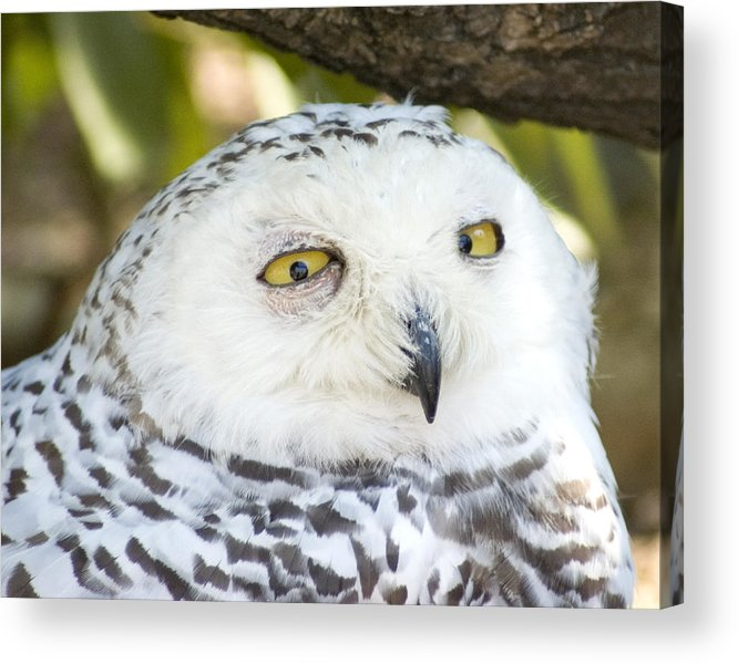 Owl Acrylic Print featuring the photograph Snowy Owl by Jerry Weinstein