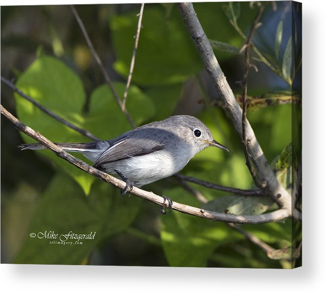 Backyard Birds Acrylic Print featuring the photograph The Blue And The Grey by Mike Fitzgerald