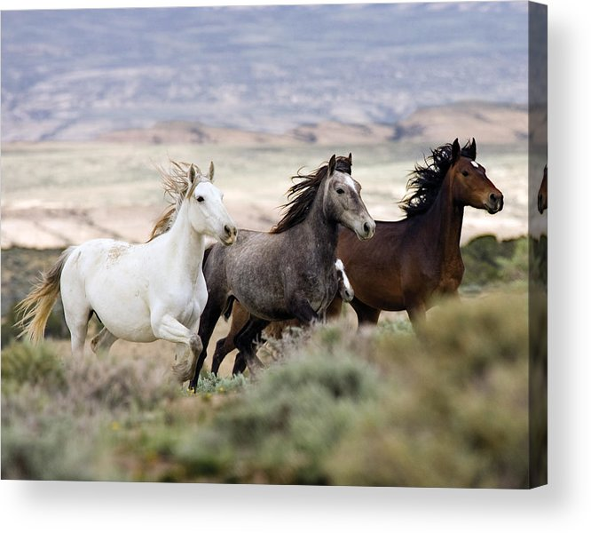 Wild Horses Acrylic Print featuring the photograph Three Mares Running by Carol Walker