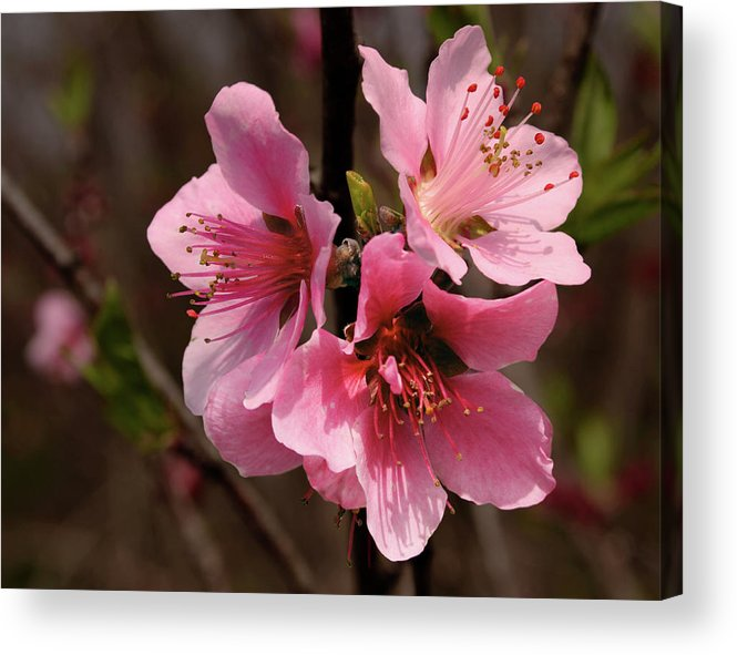 Cherry Acrylic Print featuring the photograph Wild Cherry Blossom by Grant Groberg