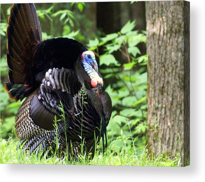 Wild Turkey Acrylic Print featuring the photograph Wild Turkey 2 by Marty Koch