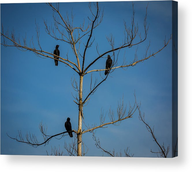 American Crows Acrylic Print featuring the photograph American Crows In Bare Tree by Lora J Wilson