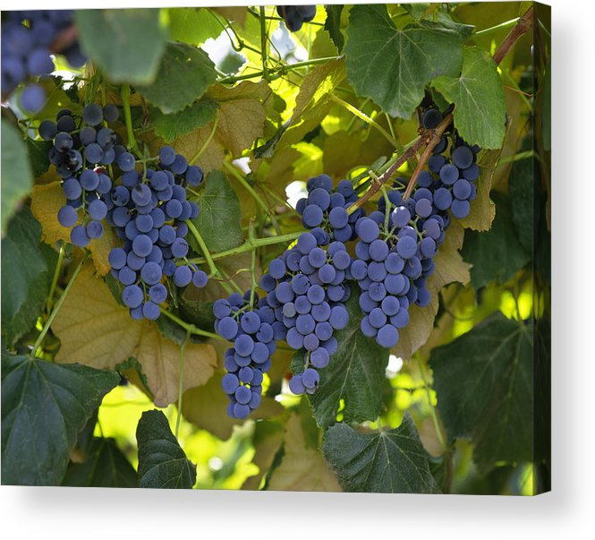 Concord Acrylic Print featuring the photograph Agriculture - Concord Tablejuice Grapes by Gary Holscher