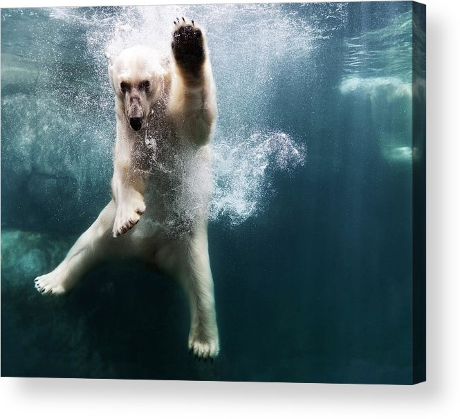Diving Into Water Acrylic Print featuring the photograph Polarbear In Water by Henrik Sorensen