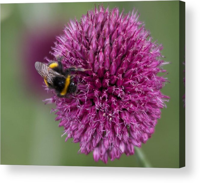 Allium Acrylic Print featuring the photograph Beth Chatto Gardens by Sean Foreman