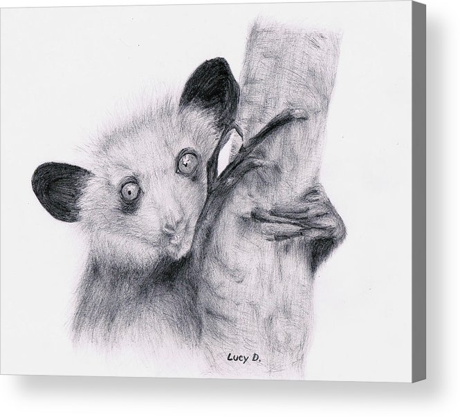 Wildlife Acrylic Print featuring the drawing Aye-aye by Lucy D