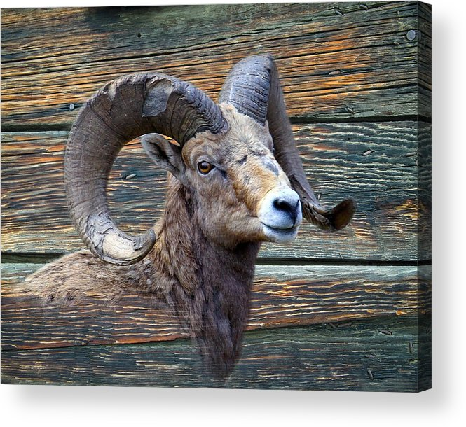 Wildlife Acrylic Print featuring the photograph Barn Wood Bighorn by Steve McKinzie