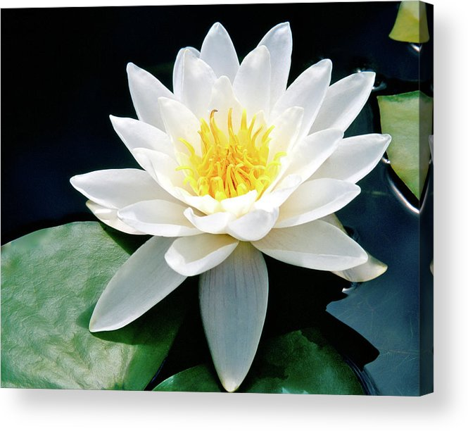 Water Lily Acrylic Print featuring the photograph Beautiful Water Lily Capture by Ed Riche