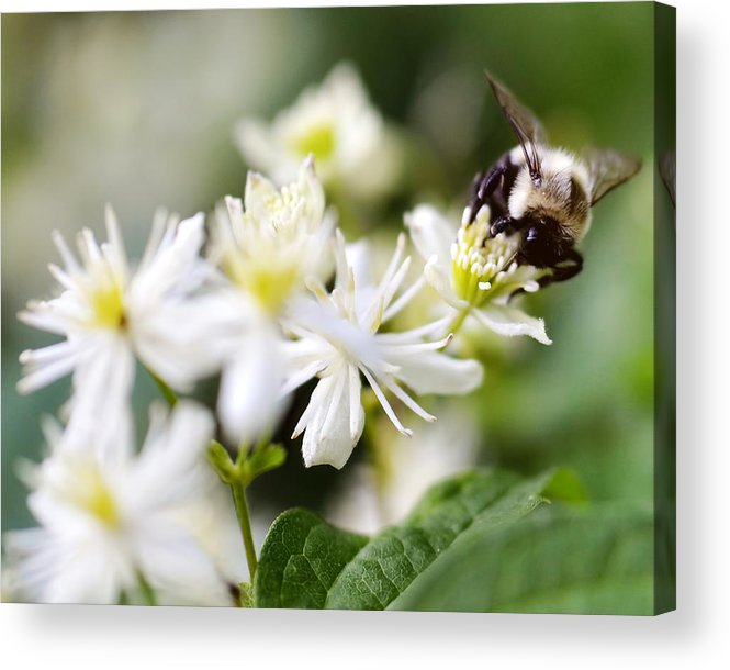 Flower Acrylic Print featuring the photograph Bumble Bee On Clematis by Ginger Wagner