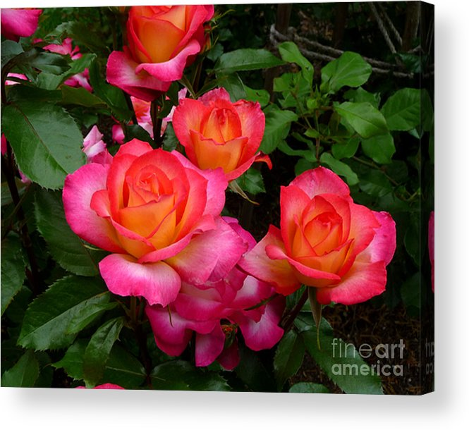 Rose Acrylic Print featuring the photograph Delicious Summer Roses by Richard Donin