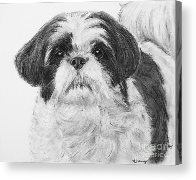 Shih Tzu Acrylic Print featuring the drawing Detailed Shih Tzu Portrait by Kate Sumners
