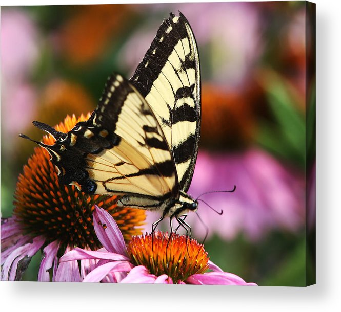 Eastern Tiger Swallowtail Acrylic Print featuring the photograph Eastern Tiger Swallowtail by Theo OConnor