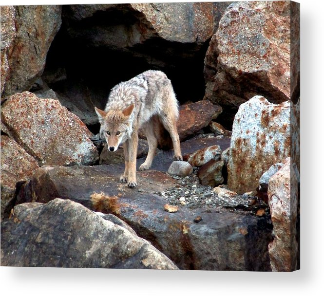 Coyote Acrylic Print featuring the photograph Eyes Of Warning by Karen Wiles
