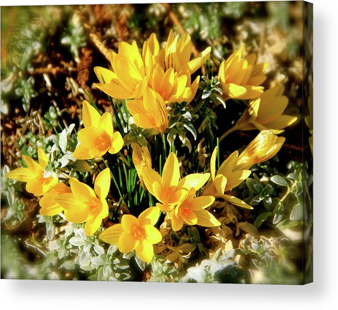 Crocus Acrylic Print featuring the photograph First Crocus Serenade by Ed Riche