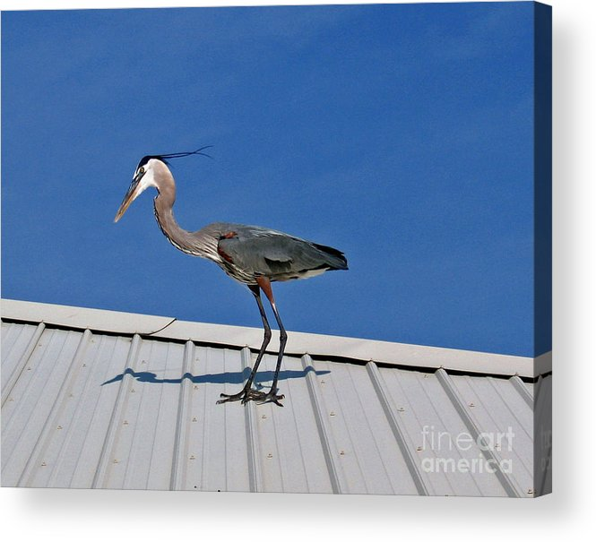 Blue Heron Acrylic Print featuring the photograph Heron On Rooftop by Marian Bell