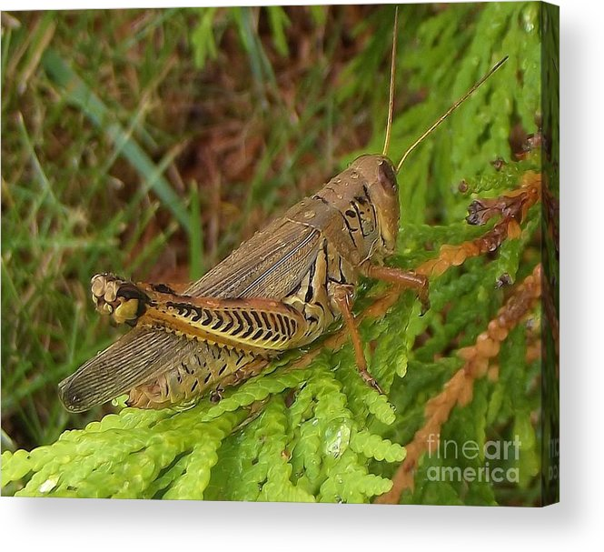 Insect Acrylic Print featuring the photograph Indiana Grasshopper by Rory Cubel