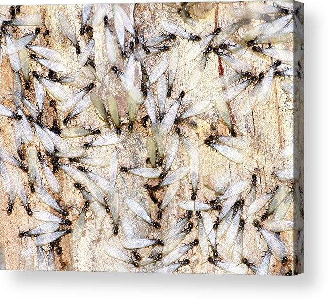 Termites Acrylic Print featuring the photograph Infested by Pam Garcia