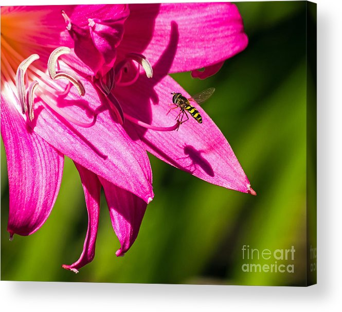 Amaryllis Belladonna Acrylic Print featuring the photograph Lily And Fly by Kate Brown