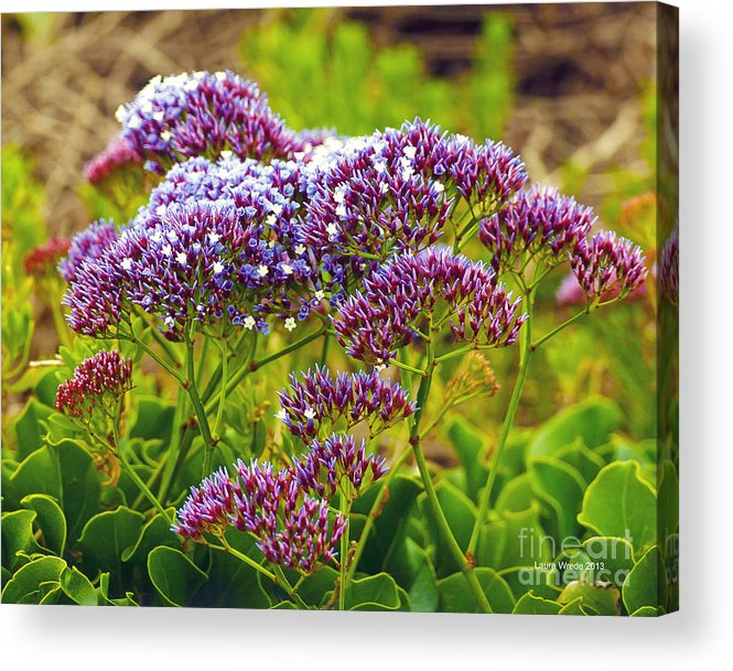 Limonium Acrylic Print featuring the photograph Limonium - Statice by Artist and Photographer Laura Wrede