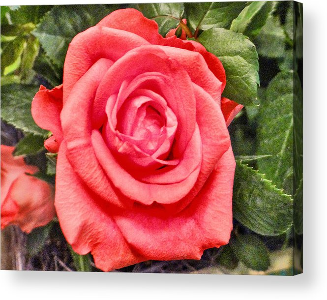 Rose Acrylic Print featuring the photograph Morning Rose by Dennis Dugan