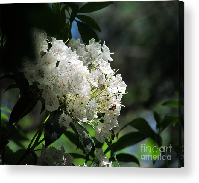 Mountain Laurel Acrylic Print featuring the photograph Mountain Laurel II by Lili Feinstein