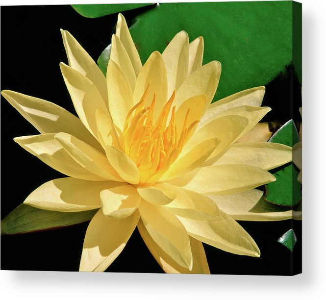 Water Lily Acrylic Print featuring the photograph One Water Lily by Ed Riche