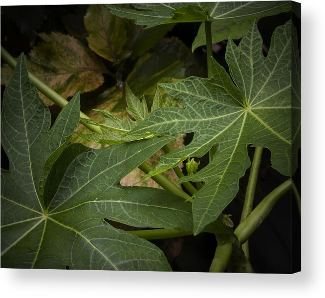 Papaya Tree Acrylic Print featuring the photograph Papaya Leaves by Dorothy Hilde