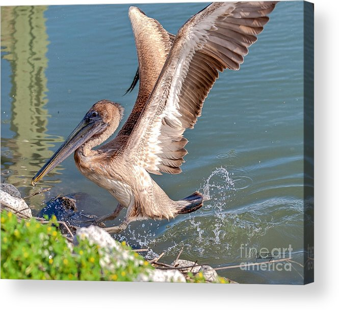 Pelican Acrylic Print featuring the photograph Pelican Jump by Mike Covington