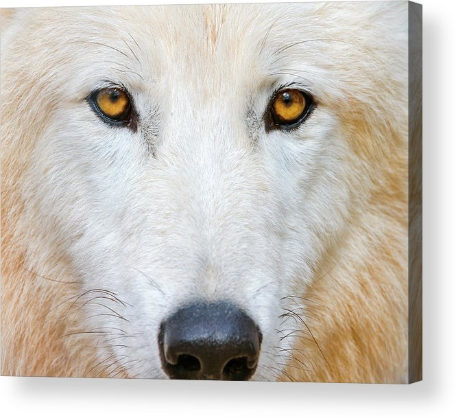 Animal Themes Acrylic Print featuring the photograph Polar Wolf by Picture By Tambako The Jaguar