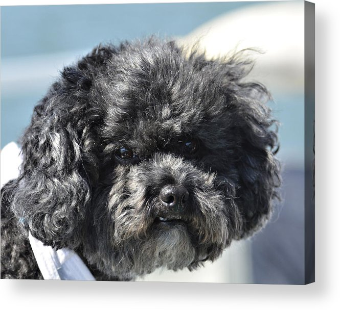 Animal Acrylic Print featuring the photograph Poodle by Susan Leggett