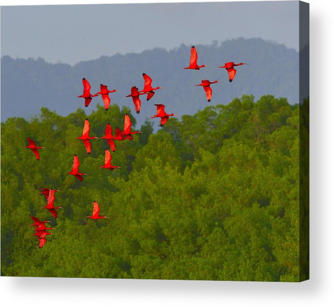 Scarlet Ibis Acrylic Print featuring the photograph Scarlet Ibis by Tony Beck
