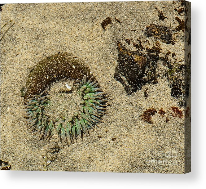 State Beach Near Big Sur Acrylic Print featuring the photograph Sea Anenome Half Buried In The Sand by Artist and Photographer Laura Wrede