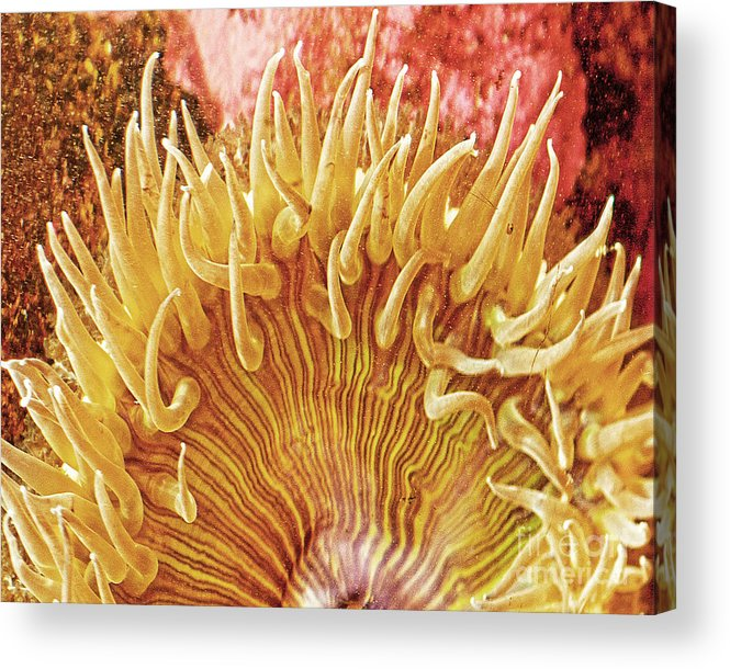 Ocean Art Acrylic Print featuring the photograph Sea Anenome Stretch by Artist and Photographer Laura Wrede