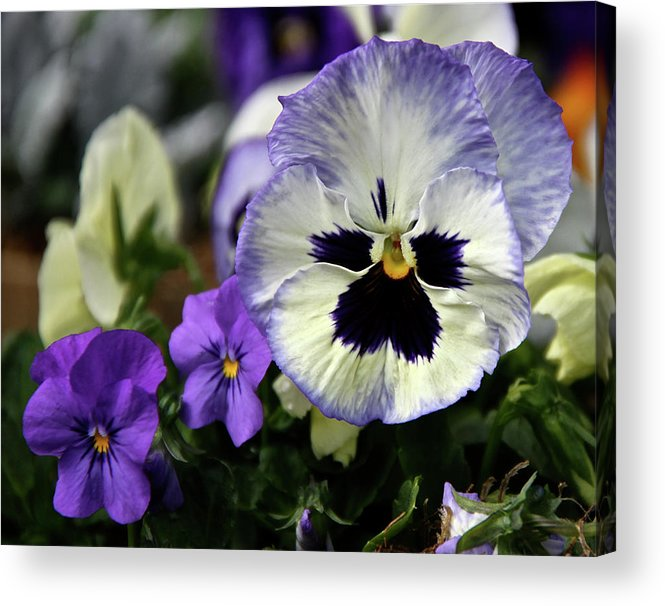 Pansy Acrylic Print featuring the photograph Spring Pansy Flower by Ed Riche