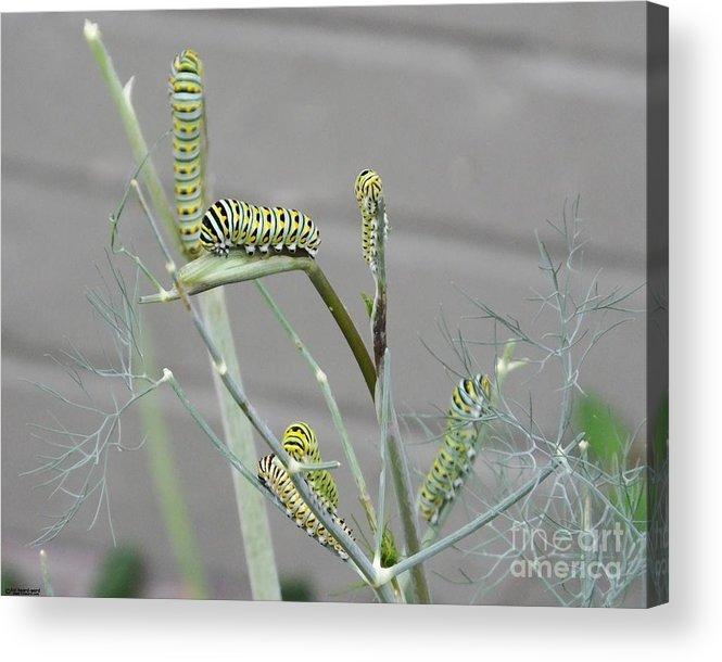 Caterpillar Acrylic Print featuring the photograph Swallowtail Feast by Lizi Beard-Ward