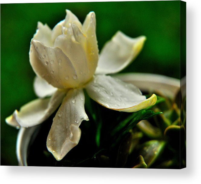 Flowers Acrylic Print featuring the photograph Tears Of A Flower by John Blanchard