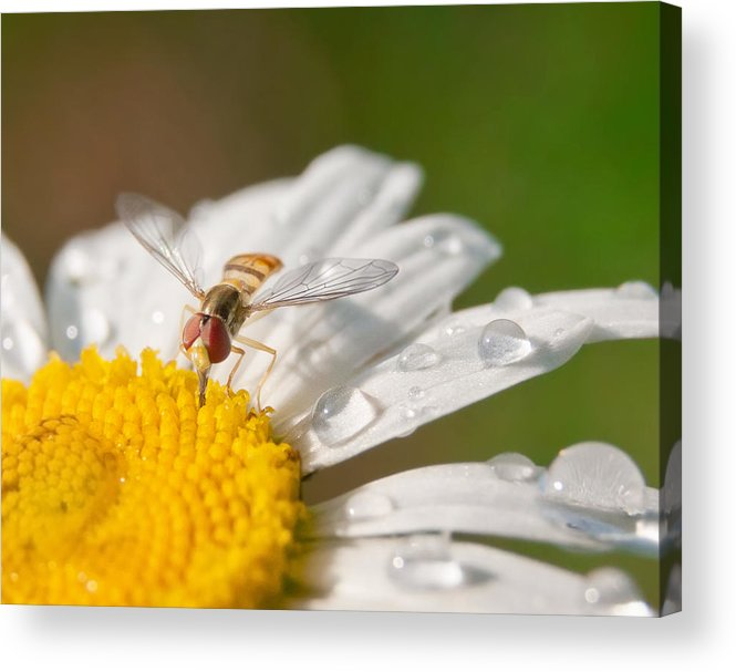 Hoverfly Acrylic Print featuring the photograph Watering Hole by David Lamb