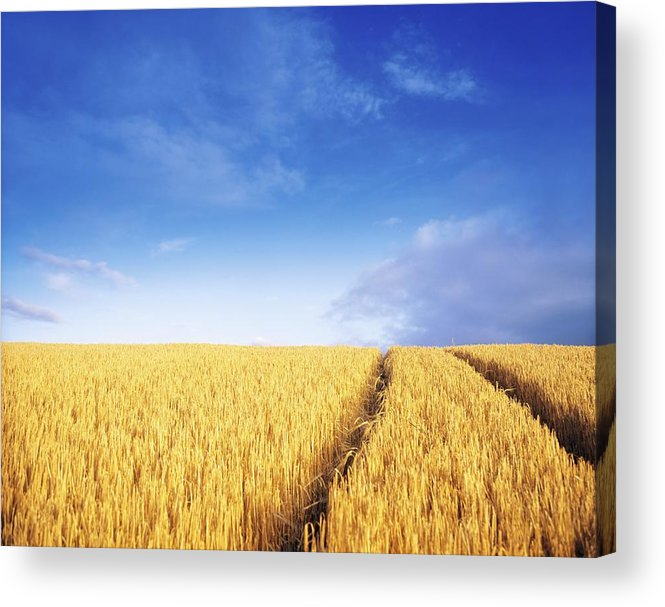 Agriculture Acrylic Print featuring the photograph Co Carlow, Ireland Barley by The Irish Image Collection