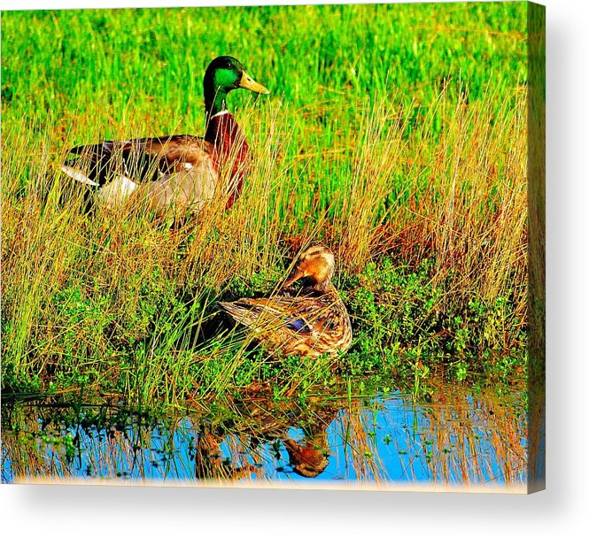 Wildlife Acrylic Print featuring the photograph Mallards by John Blanchard