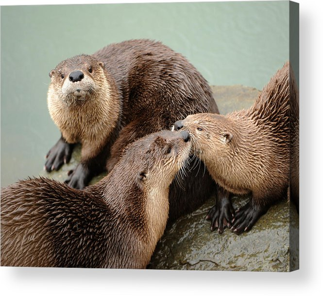 River Otter Acrylic Print featuring the photograph Pelican Creek Otter Family by Amy Gerber