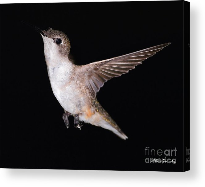 Hummingbird Acrylic Print featuring the photograph Ruby Throated Hummingbird by Steve Javorsky