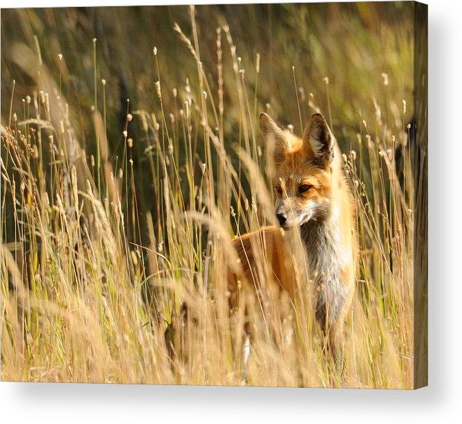 Red Fox Acrylic Print featuring the photograph A Fox In A Field by Amy Gerber