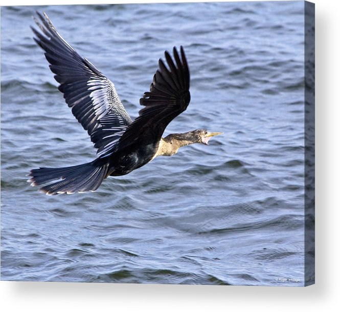 Anhinga Acrylic Print featuring the photograph Anhinga In Flight by Roger Wedegis